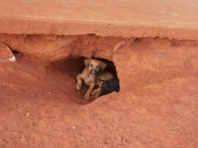 puppies in den under a house (house not visible)