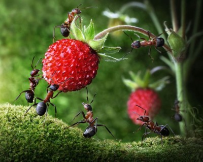 Artwork with ants and strawberries