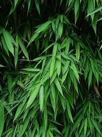 green leafy bamboo