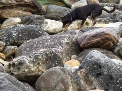 Kelpie walking on coastal rocks