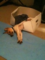 puppy stretching front paws out from cardboard box that serves as dog bed