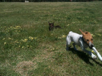 puppy and kelpie playing on big lawn