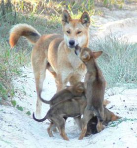 dingo with pups with 3-pups, one raising on back legs to nudge the mother's mouth begging