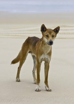 Skinny dingo standing on beach