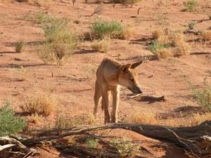 Australian dingo, arid landscape