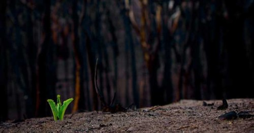 green plant sprouts in landscape of ashes with burned tree stems in the background