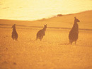 Golden image: kangaroos in sunset